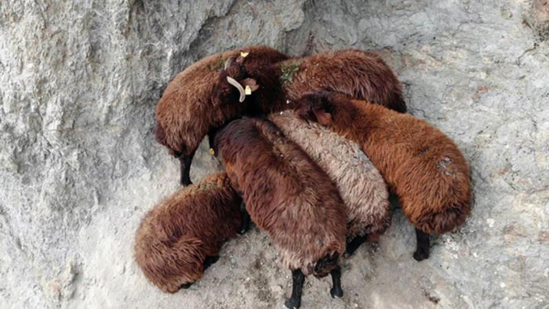 Kayalıklarda mahsur kalan koyunları AFAD kurtardı