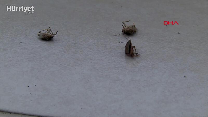 İstanbul'da 'kokarca böceği' kabusu