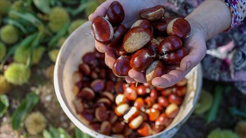 Kestane üretim merkezlerinden Aydın'da zorlu hasat mesaisi başladı