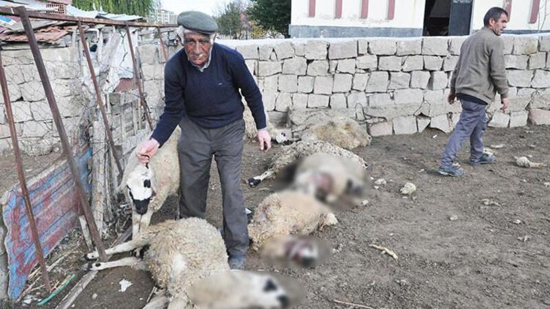 Ağıla giren kurtlar, 13 koyunu telef etti