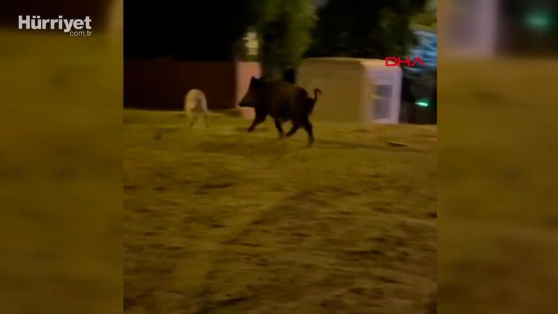 Mahalleye inen yaban domuzu, köpekleri kovaladı