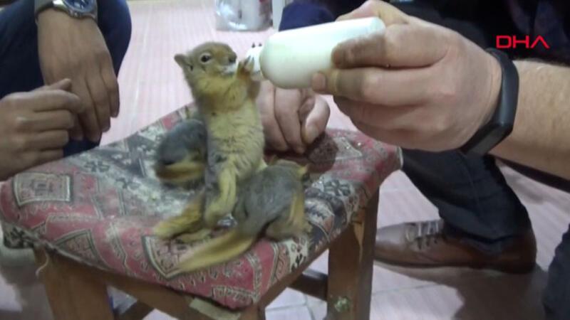 Köylülerin bulduğu sincap yavrularını elleriyle besliyor